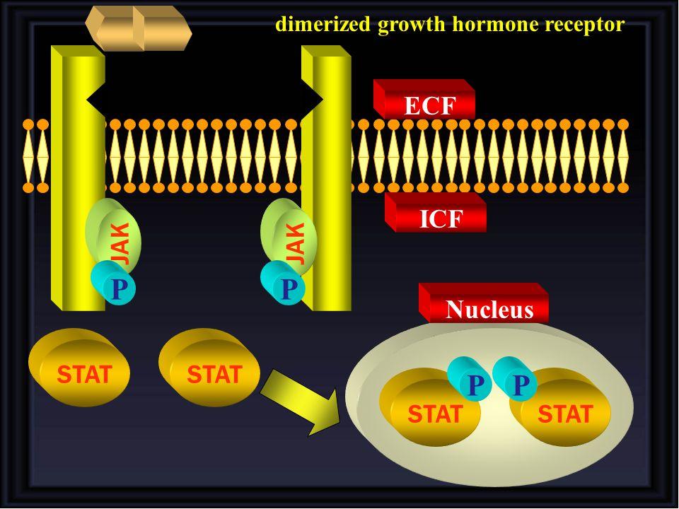 STAT JAK P P STAT PP ICF ECF Nucleus dimerized growth hormone receptor