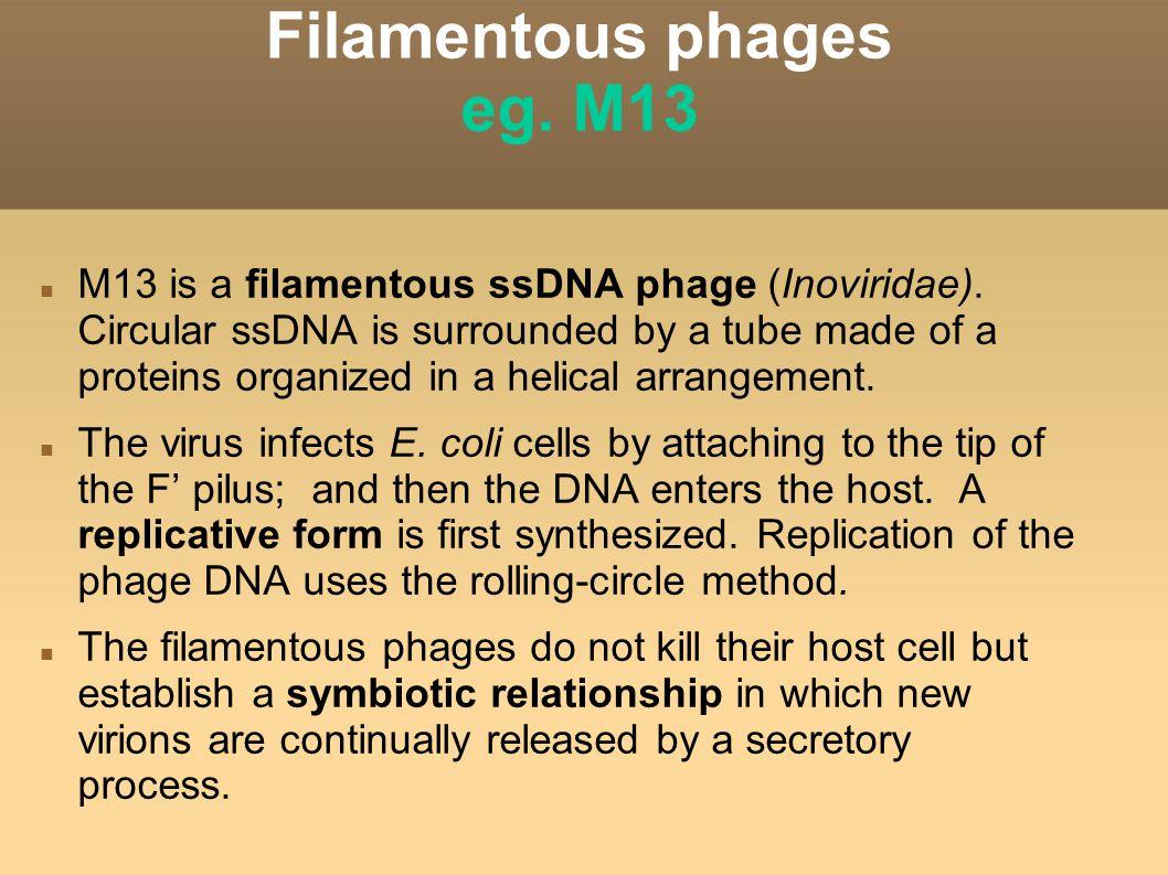Filamentous phages eg. M13 M13 is a filamentous ssDNA phage (Inoviridae).