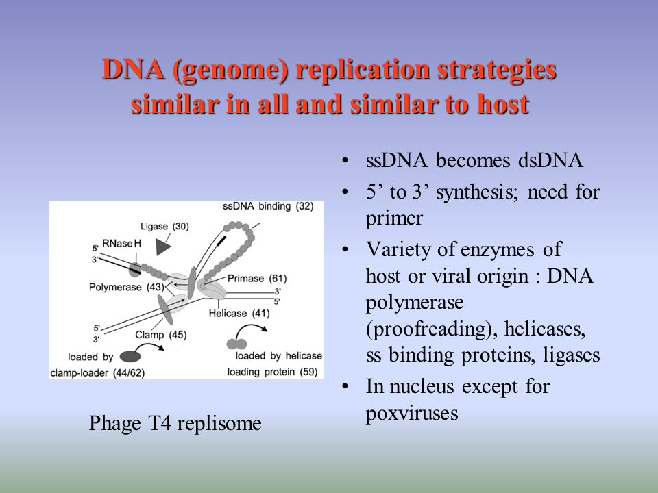 DNA (genome) replication strategies similar in all and similar to host ssDNA becomes dsDNA 5' to 3' synthesis; need for primer Variety of enzymes of host or viral origin : DNA polymerase (proofreading), helicases, ss binding proteins, ligases In nucleus except for poxviruses Phage T4 replisome