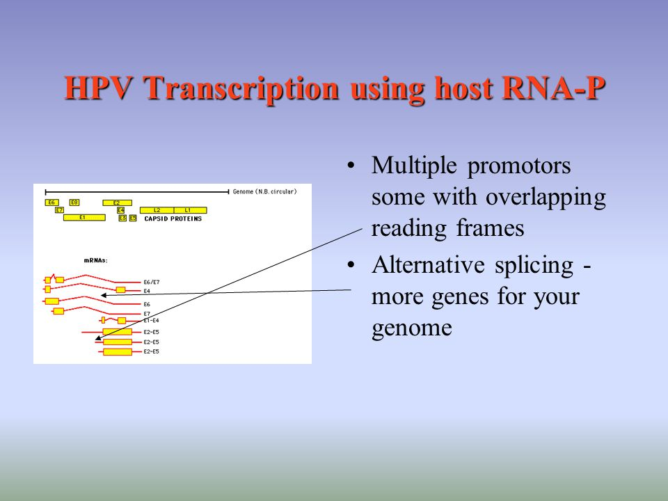 HPV Transcription using host RNA-P Multiple promotors some with overlapping reading frames Alternative splicing - more genes for your genome