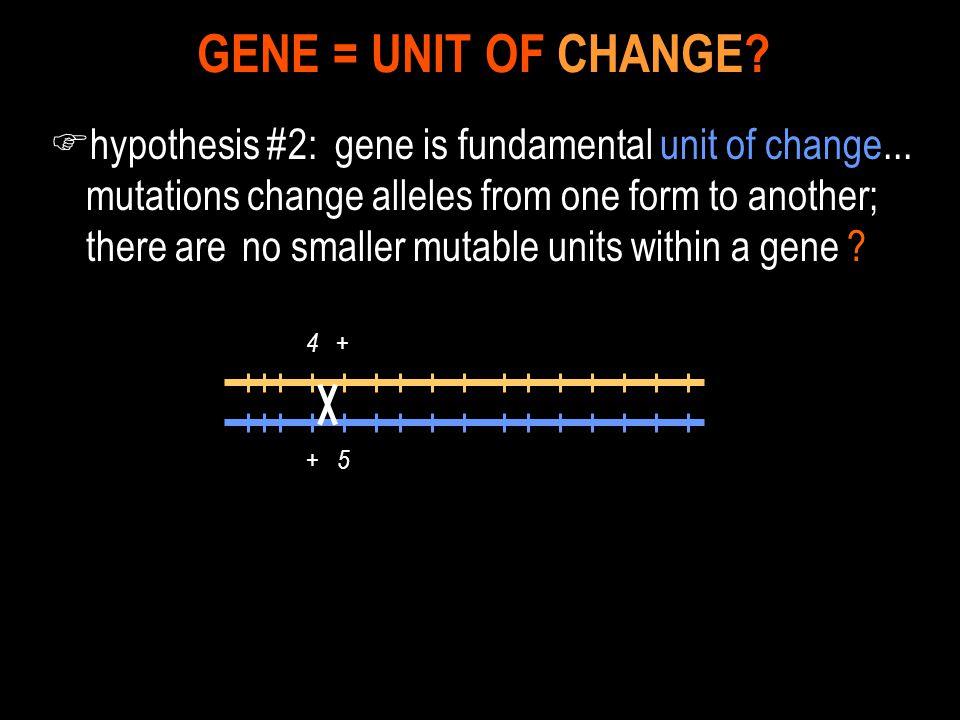 F hypothesis #2: gene is fundamental unit of change... mutations change alleles from one form to another; there are no smaller mutable units within a