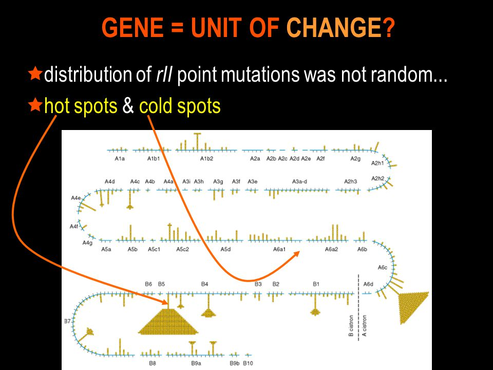  distribution of rII point mutations was not random...  hot spots & cold spots GENE = UNIT OF CHANGE?