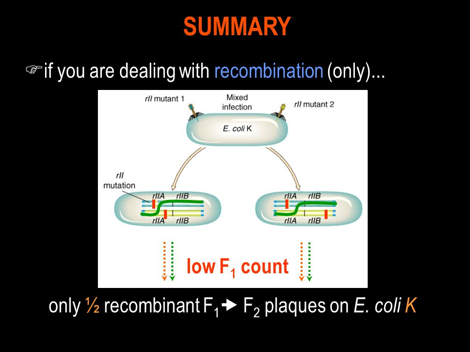 F if you are dealing with recombination (only)... SUMMARY low F 1 count only ½ recombinant F 1  F 2 plaques on E. coli K