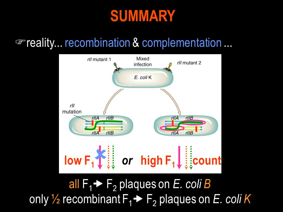 F reality... recombination & complementation... SUMMARY or high F 1 count  low F 1 all F 1  F 2 plaques on E. coli B only ½ recombinant F 1  F 2 pl