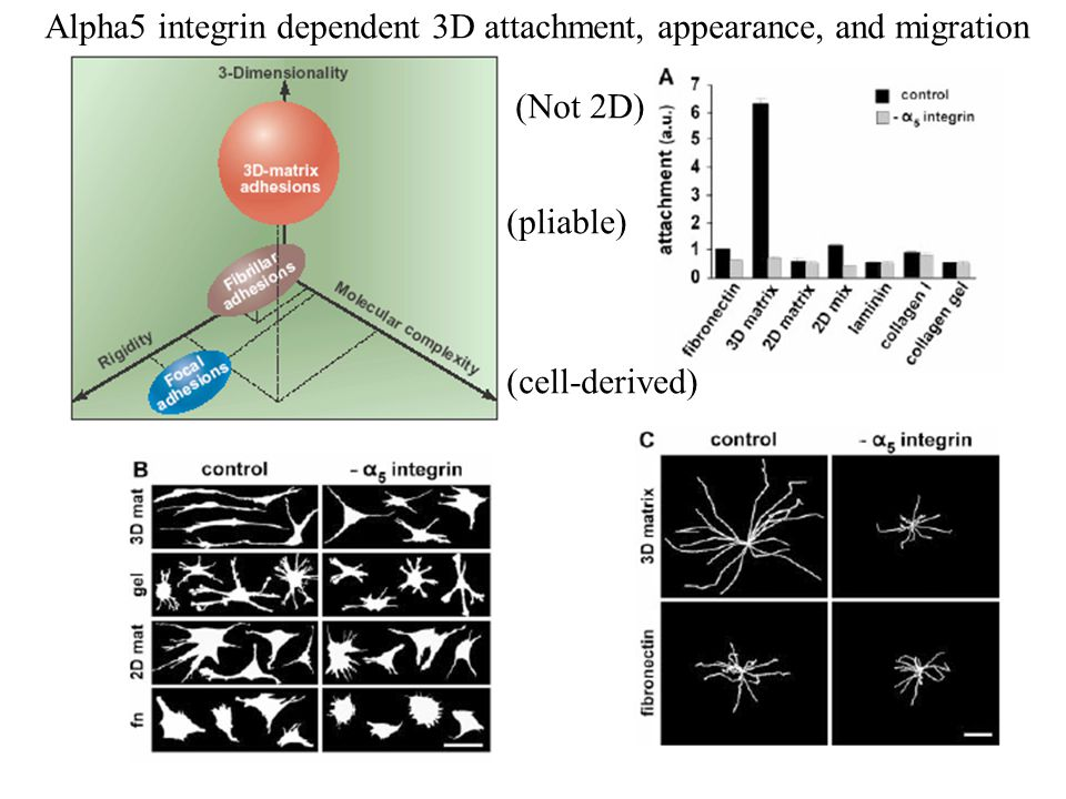 When grown in 2D, activation of Rho signalling completely inhibits Motility of BE cells.