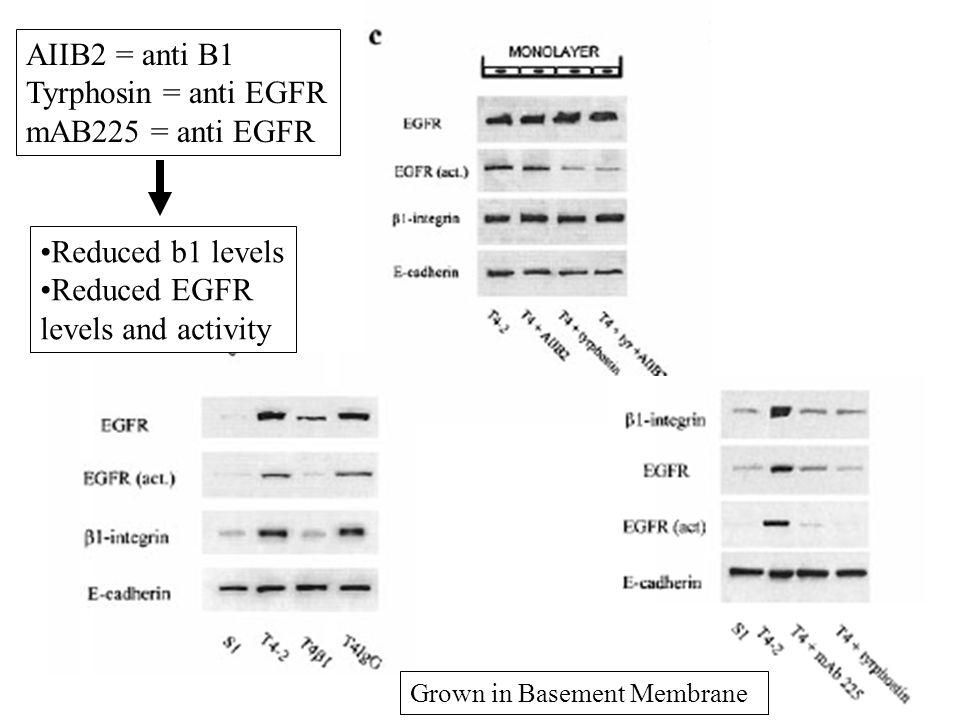 Active FAK, ILK and MAP Kinase downstream of beta1 and EGFR