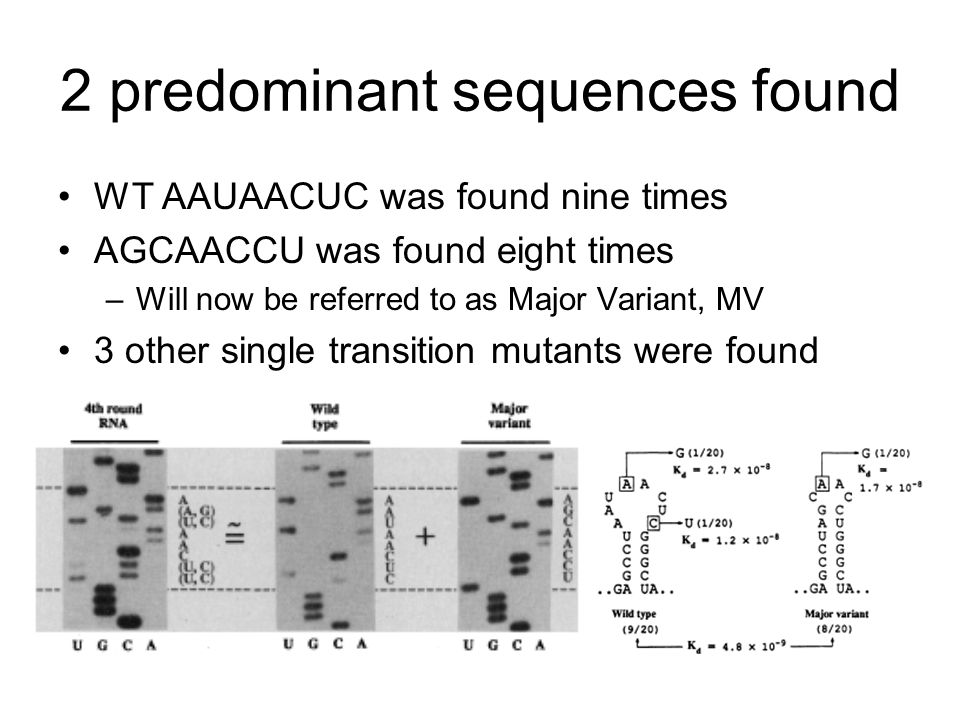 2 predominant sequences found WT AAUAACUC was found nine times AGCAACCU was found eight times –Will now be referred to as Major Variant, MV 3 other single transition mutants were found