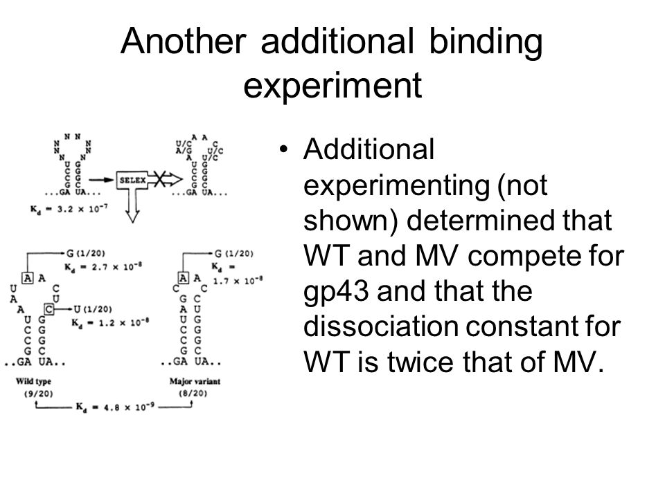 Another additional binding experiment Additional experimenting (not shown) determined that WT and MV compete for gp43 and that the dissociation constant for WT is twice that of MV.