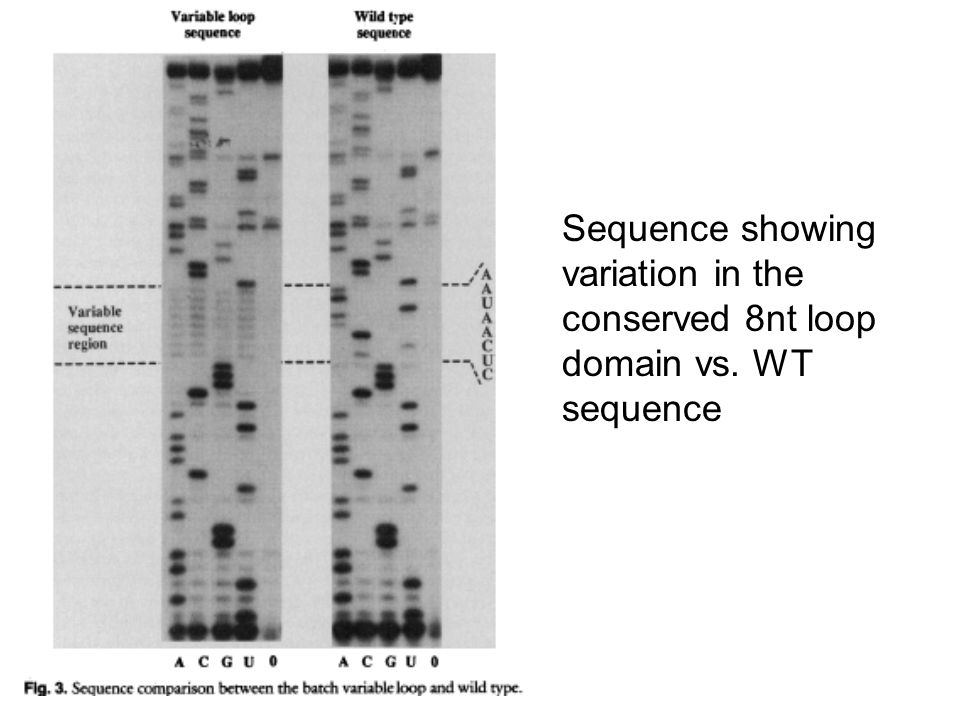 Sequence showing variation in the conserved 8nt loop domain vs. WT sequence