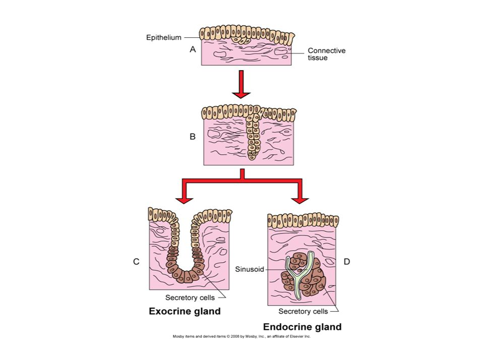 Hormones ___________ messengers produced by endocrine glands and secreted directly into blood vessels.