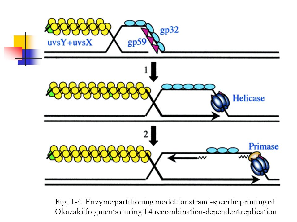 Fig. 1-4 Enzyme partitioning model for strand-specific priming of Okazaki fragments during T4 recombination-dependent replication