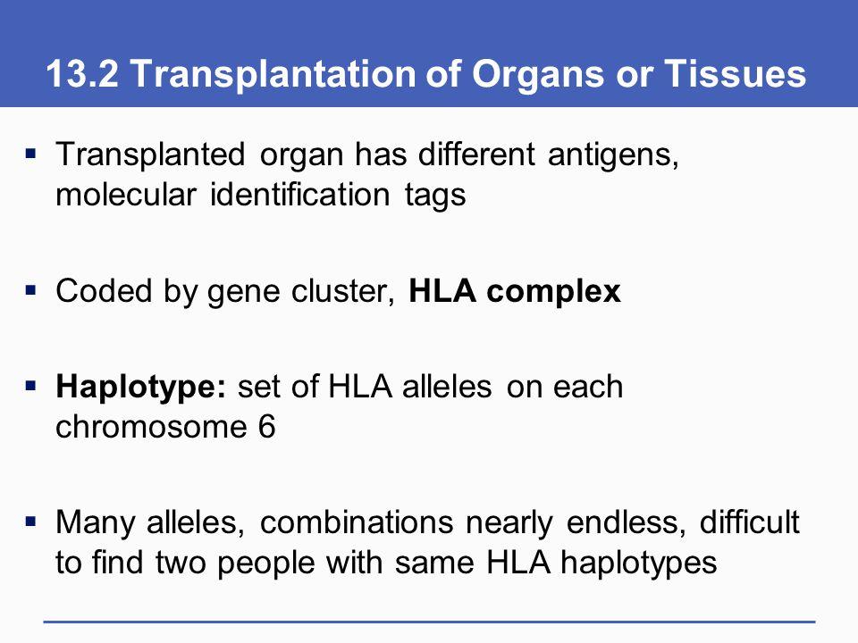 13.2 Transplantation of Organs or Tissues  Transplanted organ has different antigens, molecular identification tags  Coded by gene cluster, HLA comp