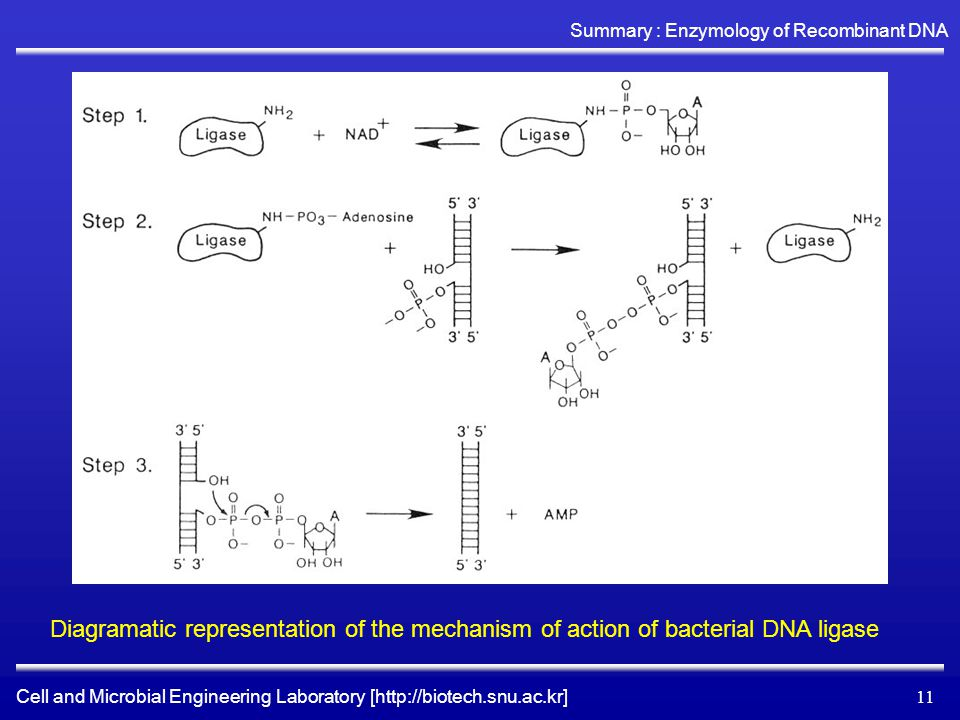 Cell and Microbial Engineering Laboratory [http://biotech.snu.ac.kr] Summary : Enzymology of Recombinant DNA 11 Diagramatic representation of the mechanism of action of bacterial DNA ligase