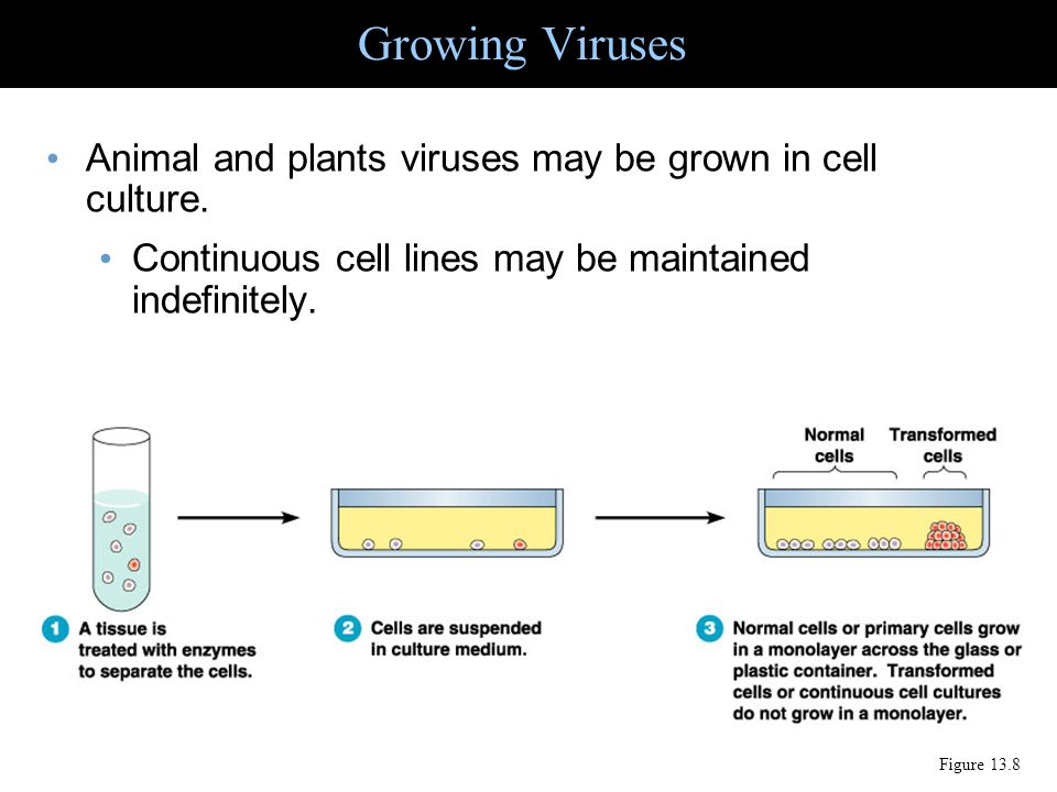 Growing Viruses Animal and plants viruses may be grown in cell culture. Continuous cell lines may be maintained indefinitely. Figure 13.8