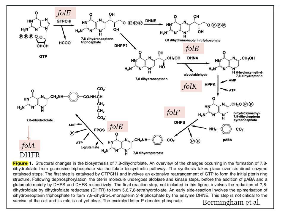 Biosynthetic pathway of folate folE folB folK folA DHFR folP Bermingham et al.