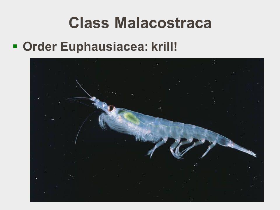 Class Malacostraca  Order Euphausiacea: krill.