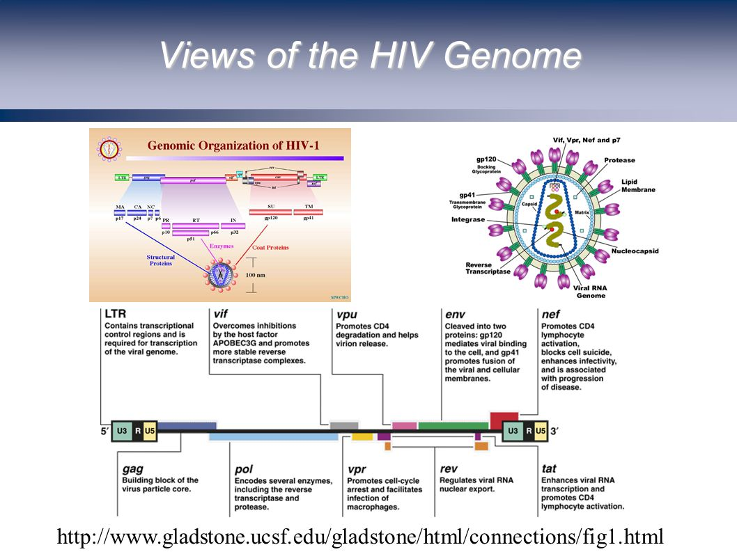 Views of the HIV Genome http://www.gladstone.ucsf.edu/gladstone/html/connections/fig1.html