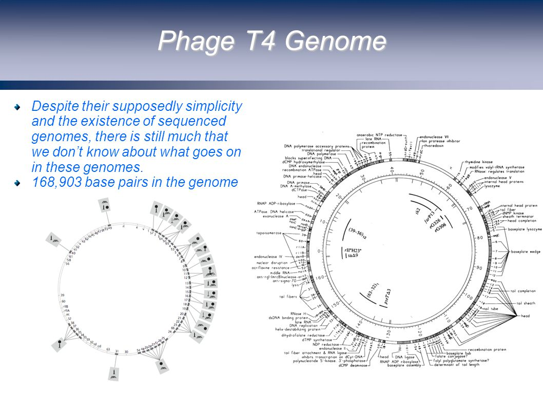 Phage T4 Genome Despite their supposedly simplicity and the existence of sequenced genomes, there is still much that we don't know about what goes on in these genomes.