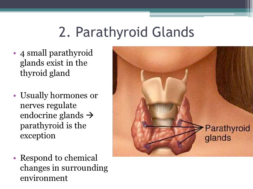 2. Parathyroid Glands 4 small parathyroid glands exist in the thyroid gland Usually hormones or nerves regulate endocrine glands  parathyroid is the