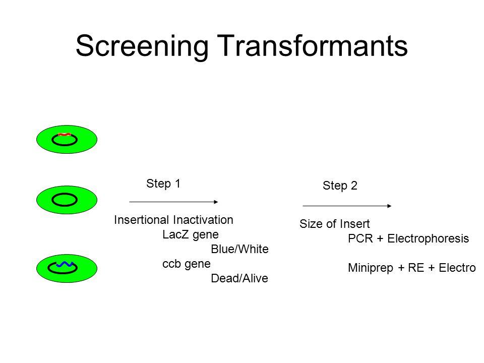 PCR Cloning Taq Polymerase ends Adds extra Adenosine onto 3' end –Generating a 3' A overhang A A PCR Product TA cloning vectors + Ligase Topo cloning vectors