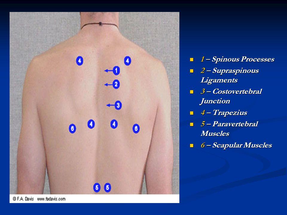 1 – Spinous Processes 2 – Supraspinous Ligaments 3 – Costovertebral Junction 4 – Trapezius 5 – Paravertebral Muscles 6 – Scapular Muscles