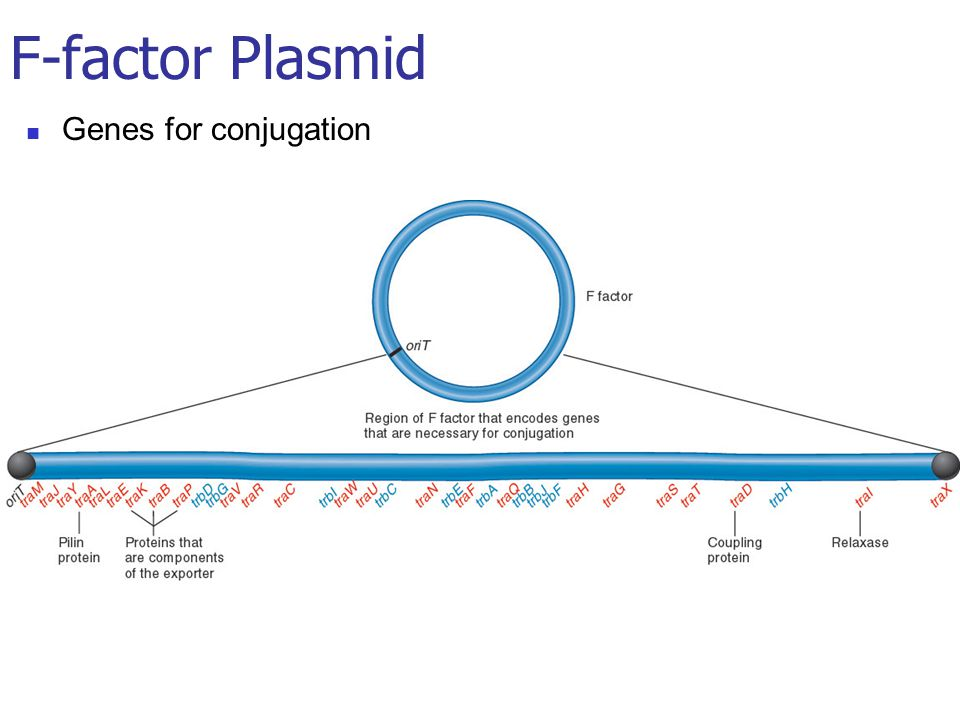 Genes for conjugation F-factor Plasmid