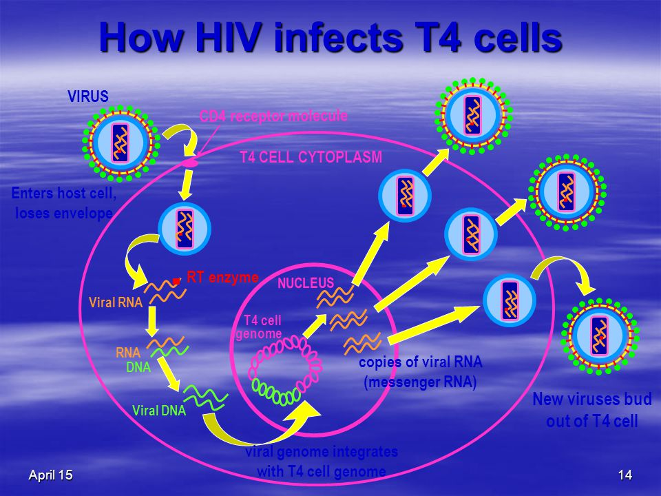 April 1514 How HIV infects T4 cells VIRUS New viruses bud out of T4 cell T4 CELL CYTOPLASM CD4 receptor molecule Enters host cell, loses envelope RT enzyme Viral RNA RNA DNA Viral DNA viral genome integrates with T4 cell genome copies of viral RNA (messenger RNA) NUCLEUS T4 cell genome