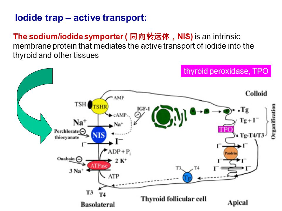 The sodium/iodide symporter ( 同向转运体, NIS) is an intrinsic membrane protein that mediates the active transport of iodide into the thyroid and other tissues Iodide trap – active transport: thyroid peroxidase, TPO