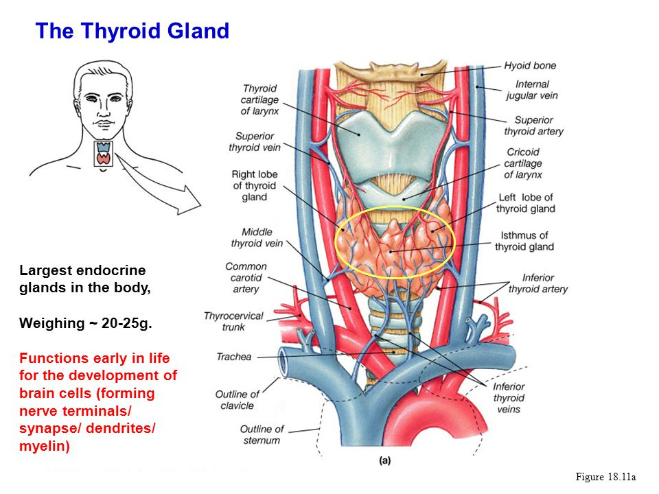 Figure 18.11a Largest endocrine glands in the body, Weighing ~ 20-25g.