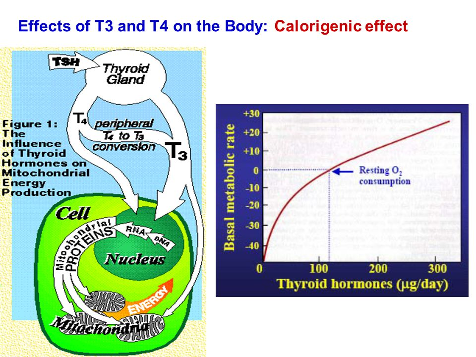Effects of T3 and T4 on the Body: Calorigenic effect