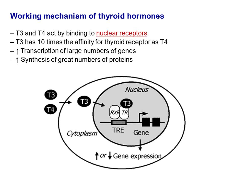 Working mechanism of thyroid hormones – T3 and T4 act by binding to nuclear receptors – T3 has 10 times the affinity for thyroid receptor as T4 – ↑ Transcription of large numbers of genes – ↑ Synthesis of great numbers of proteins