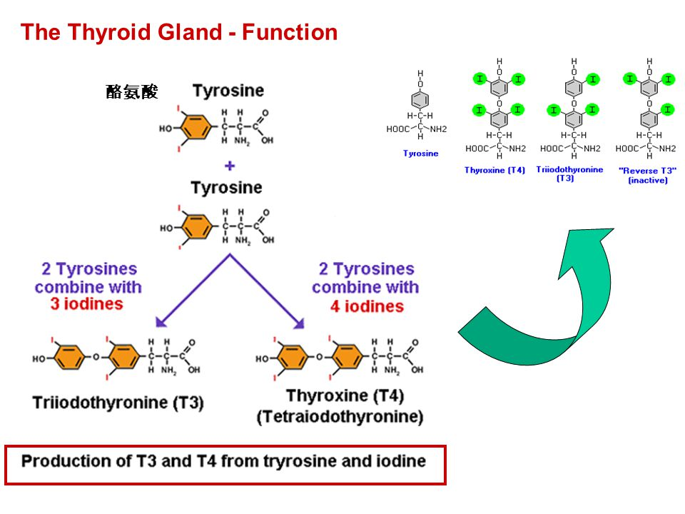 The Thyroid Gland - Function 酪氨酸