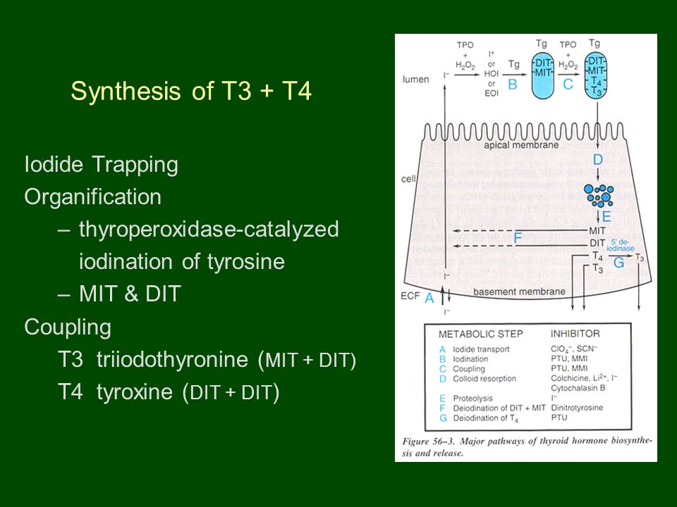 Synthesis of T3 + T4 Iodide Trapping Organification –thyroperoxidase-catalyzed iodination of tyrosine –MIT & DIT Coupling T3 triiodothyronine ( MIT + DIT) T4 tyroxine ( DIT + DIT )