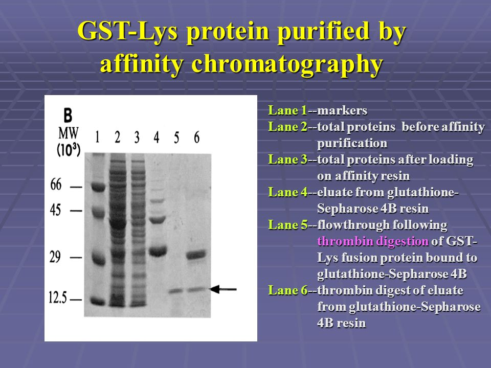 GST-Lys protein purified by affinity chromatography Lane 1--markers Lane 2--total proteins before affinity purification Lane 3--total proteins after l