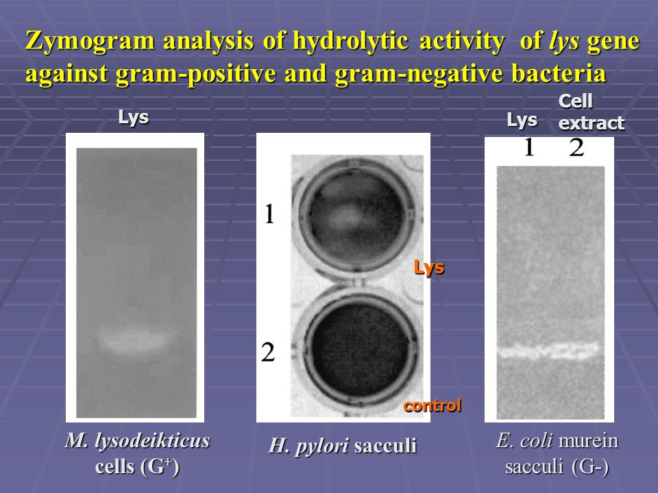 Zymogram analysis of hydrolytic activity of lys gene against gram-positive and gram-negative bacteria M. lysodeikticus cells (G + ) E. coli murein sac