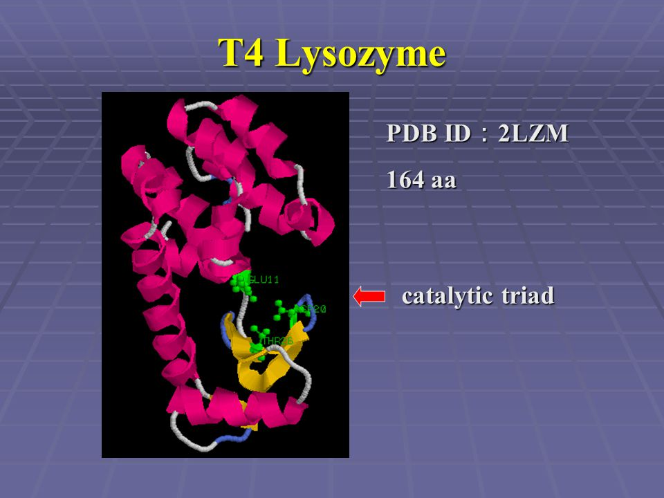 T4 Lysozyme PDB ID : 2LZM 164 aa catalytic triad
