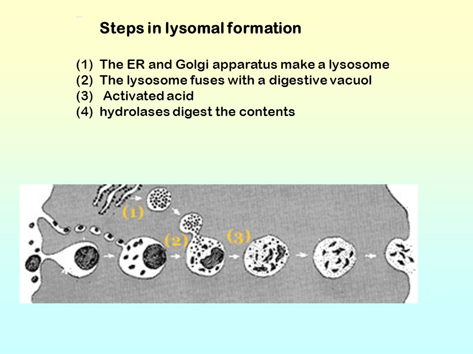 Steps in lysomal formation (1)The ER and Golgi apparatus make a lysosome (2)The lysosome fuses with a digestive vacuol (3) Activated acid (4)hydrolase