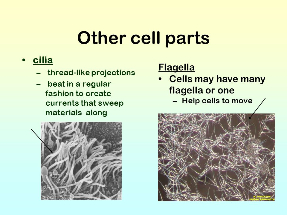 Other cell parts cilia – thread-like projections – beat in a regular fashion to create currents that sweep materials along Flagella Cells may have man
