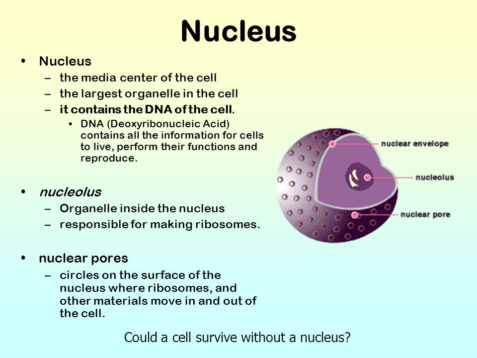 Nucleus –the media center of the cell –the largest organelle in the cell –it contains the DNA of the cell. DNA (Deoxyribonucleic Acid) contains all th