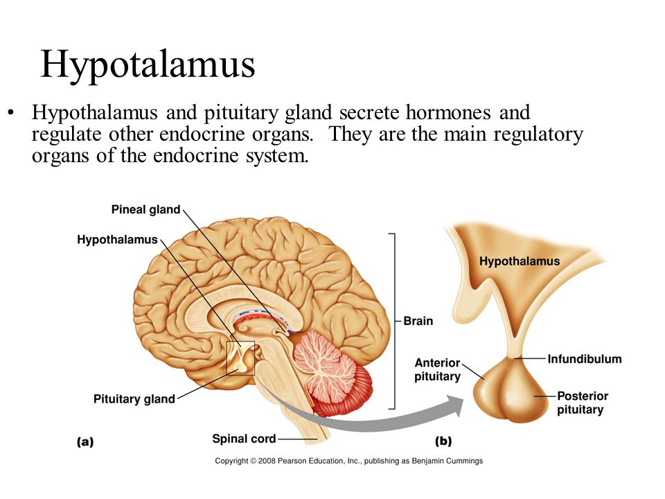 Hypotalamus Hypothalamus and pituitary gland secrete hormones and regulate other endocrine organs.