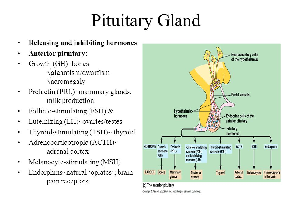 Pituitary Gland Releasing and inhibiting hormones Anterior pituitary: Growth (GH)~bones √gigantism/dwarfism √acromegaly Prolactin (PRL)~mammary glands; milk production Follicle-stimulating (FSH) & Luteinizing (LH)~ovaries/testes Thyroid-stimulating (TSH)~ thyroid Adrenocorticotropic (ACTH)~ adrenal cortex Melanocyte-stimulating (MSH) Endorphins~natural 'opiates'; brain pain receptors