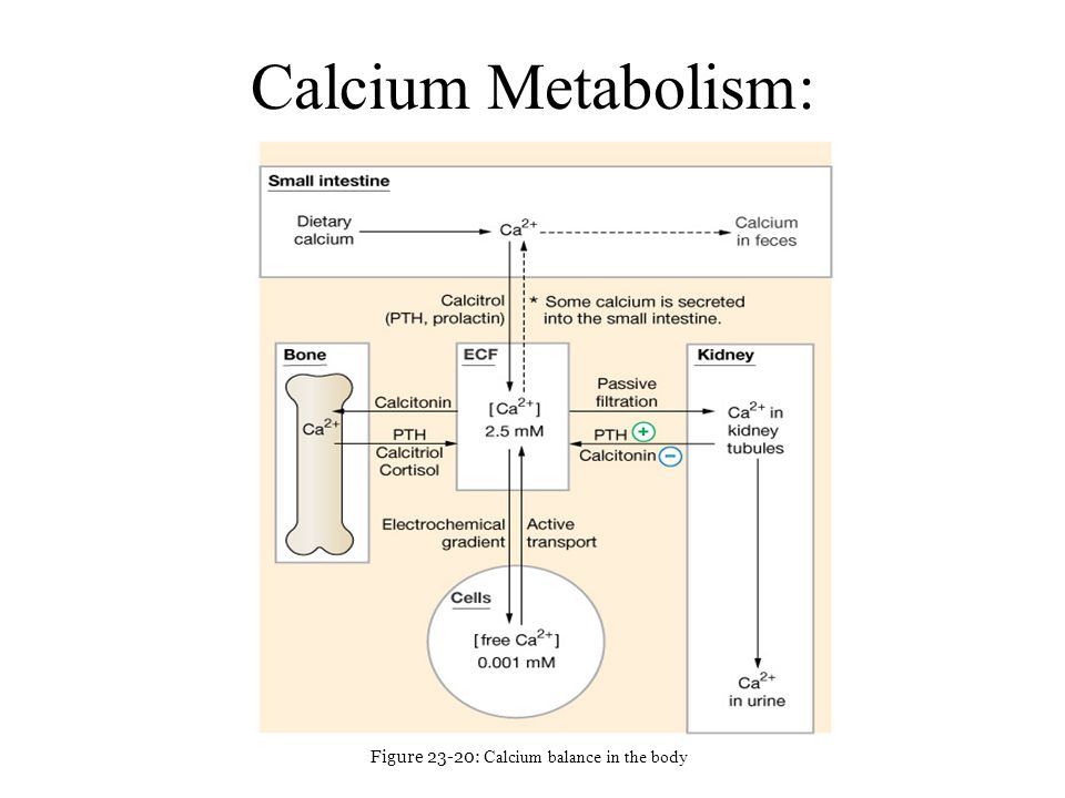 Calcium Metabolism: Figure 23-20: Calcium balance in the body