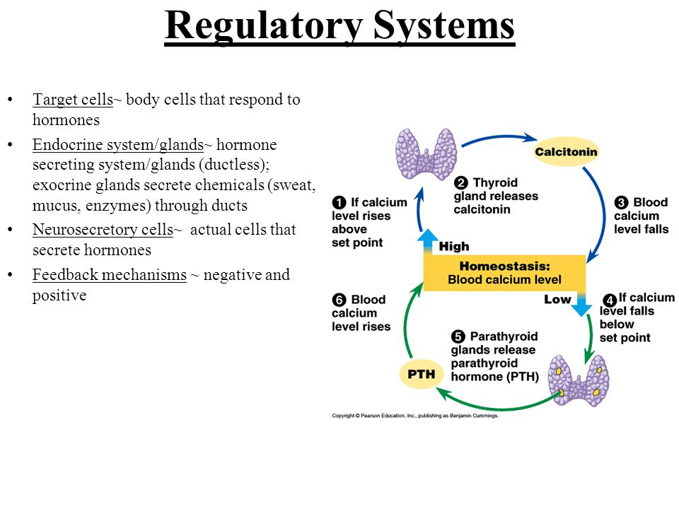 Regulatory Systems Target cells~ body cells that respond to hormones Endocrine system/glands~ hormone secreting system/glands (ductless); exocrine glands secrete chemicals (sweat, mucus, enzymes) through ducts Neurosecretory cells~ actual cells that secrete hormones Feedback mechanisms ~ negative and positive