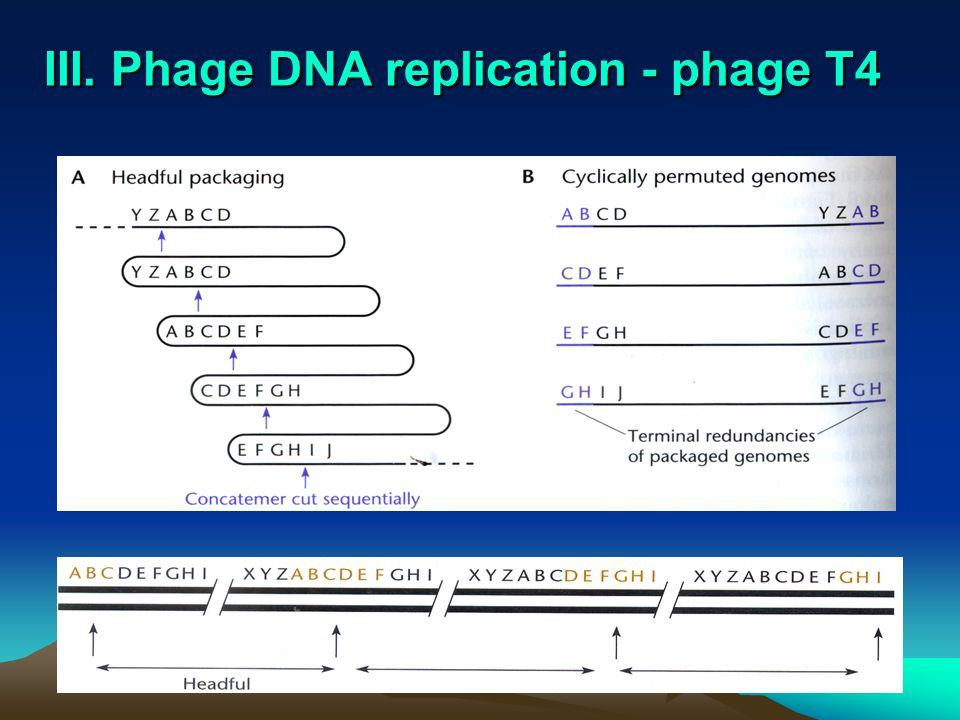 Induction process by which phage reproduction is initiated results in switch to lytic cycle triggered by drop in levels of lambda repressor (even only 5 %) –caused by exposure to UV light and chemicals that cause DNA damage excisionase –binds integrase –enables integrase to reverse integration process