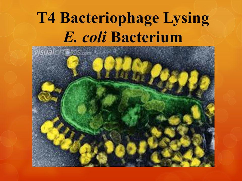 T4 Bacteriophage Lysing E. coli Bacterium