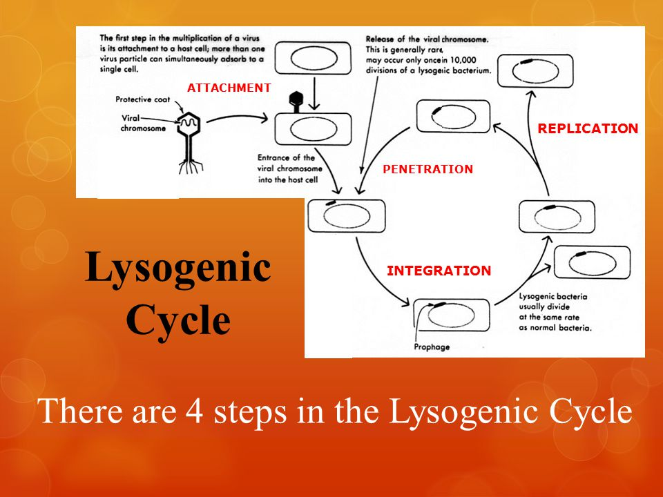 Lysogenic Cycle There are 4 steps in the Lysogenic Cycle NNNNNNNNNN NNNNNNNNNN NNNNNNNNNN NNNNNNNNNN NNNNN nnn nnn nnn nnn nnn nnd ddd ATTACHMENT PENETRATION INTEGRATION REPLICATION
