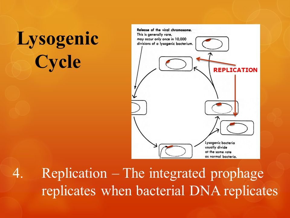 Lysogenic Cycle REPLICATION 4.Replication – The integrated prophage replicates when bacterial DNA replicates