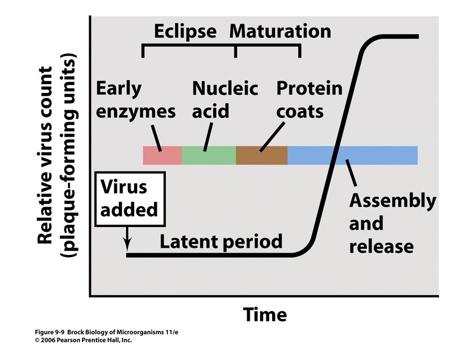 Figure 11.6 Replicative Cycle of Bacteriophage T4