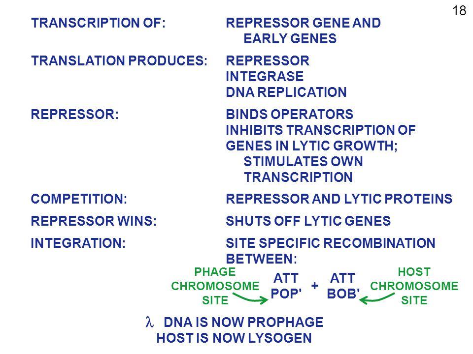 18 TRANSCRIPTION OF:REPRESSOR GENE AND EARLY GENES TRANSLATION PRODUCES:REPRESSOR INTEGRASE DNA REPLICATION REPRESSOR:BINDS OPERATORS INHIBITS TRANSCRIPTION OF GENES IN LYTIC GROWTH; STIMULATES OWN TRANSCRIPTION COMPETITION:REPRESSOR AND LYTIC PROTEINS REPRESSOR WINS:SHUTS OFF LYTIC GENES INTEGRATION:SITE SPECIFIC RECOMBINATION BETWEEN: ATT POP ATT BOB +  DNA IS NOW PROPHAGE HOST IS NOW LYSOGEN HOST CHROMOSOME SITE PHAGE CHROMOSOME SITE