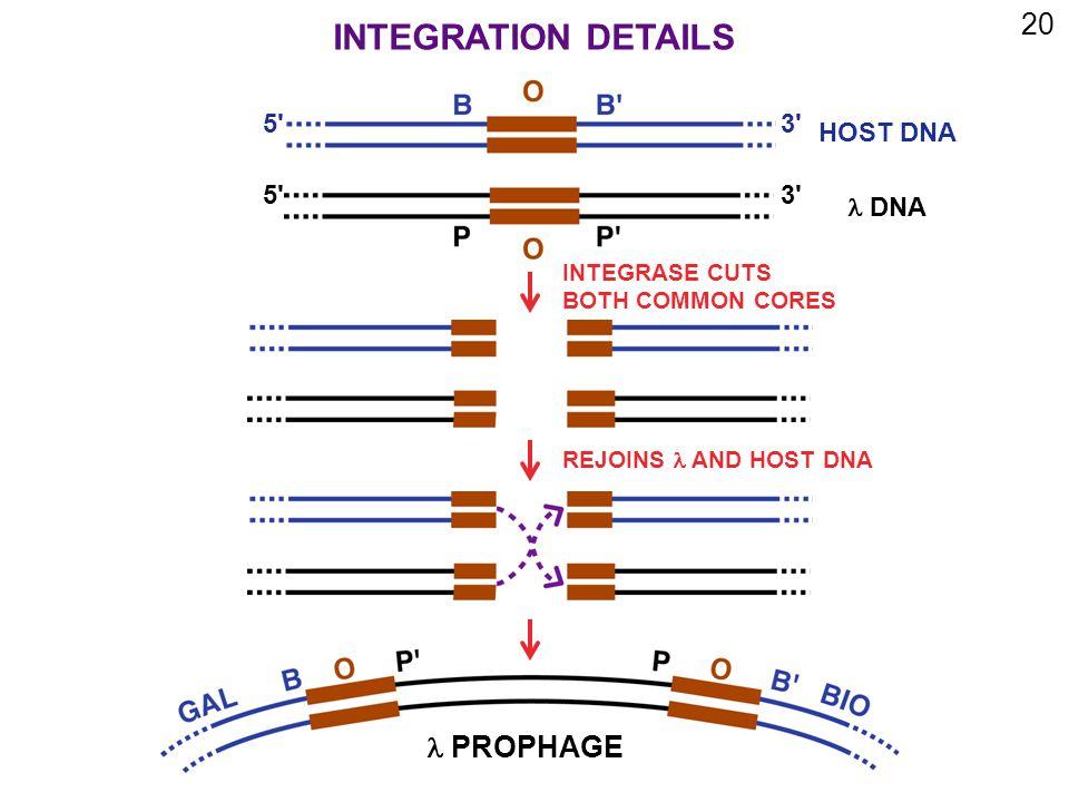 20 5 3 5 3 HOST DNA DNA INTEGRASE CUTS BOTH COMMON CORES REJOINS  AND HOST DNA PROPHAGE INTEGRATION DETAILS